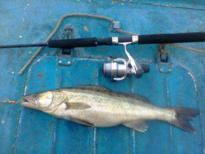 Судак, пойманный на блесну Mepps около острова Петровский, Рыбалка на Березовых островах в Финском заливе.